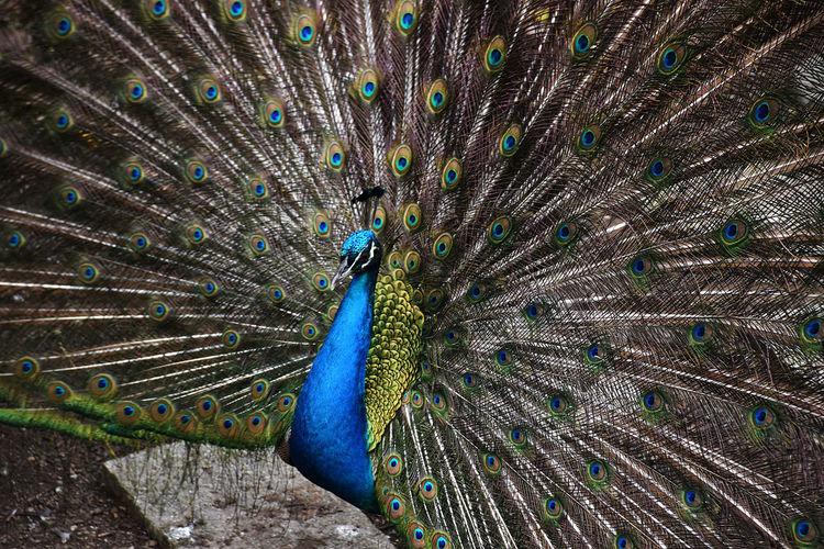 Peacock Peacock