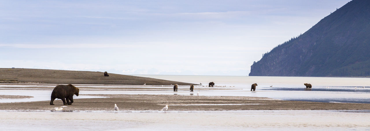 Grizzly bears on beach