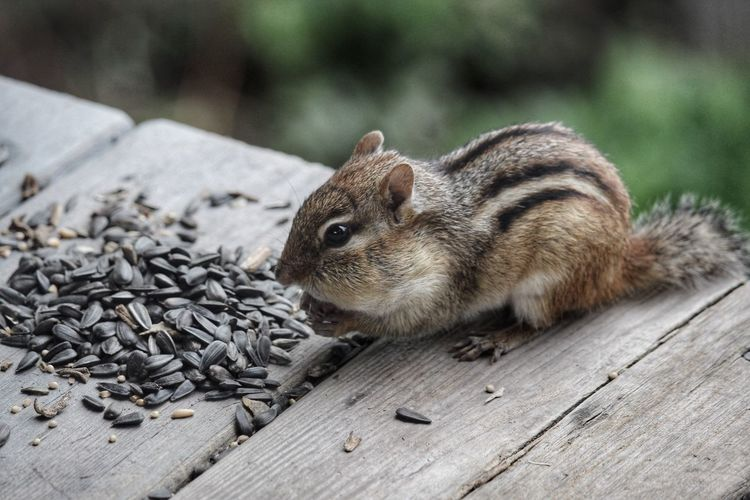 Chipmunk eating sunflower seed