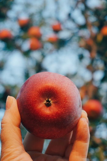 a Red apple Harvest Organic Human Body Part Human Hand Picking Apples Human Hand Tree Fruit Red Healthy Lifestyle Holding Personal Perspective Close-up Food And Drink Fruit Tree Fruit Tree Apple Tree Picking Harvesting Apple - Fruit Apple Twig Ripe Juicy Orchard
