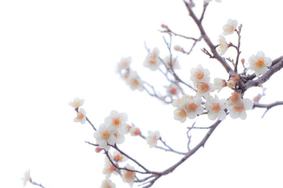 Japanese Plum Blossom Flowers Flowerporn Nature Nature_collection EyeEm Nature Lover