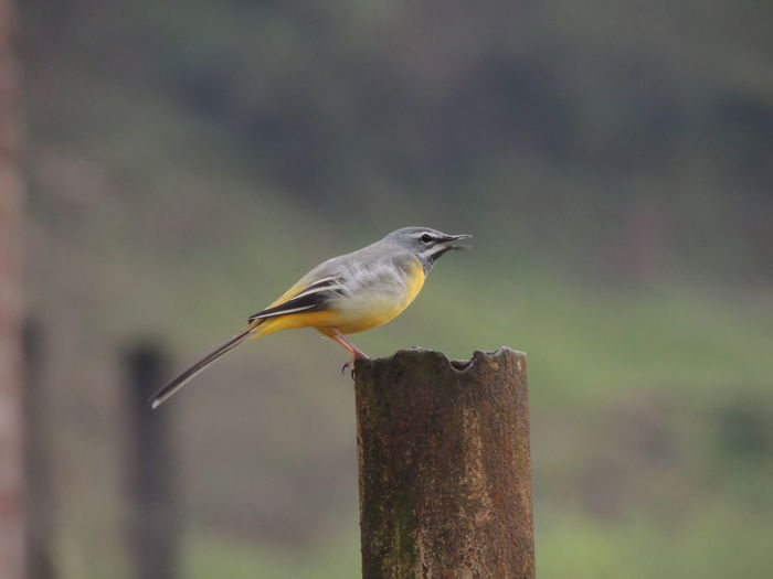Close-Up Of Yellow Wagtail On Metal