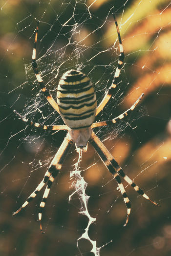 Spider in backlight that weaves his canvas Argiope Animal Leg Animal Themes Animal Wildlife Animals In The Wild Beauty In Nature Close-up Focus On Foreground Insects  Nature One Animal Outdoors Pratty Spider Spider Web Spiders Survival Yellow