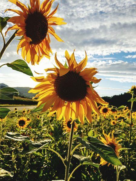 Sunflower Sonnenblume EyeEmNewHere