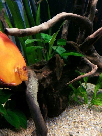 Discus Acquarium Discus Fish Fish
