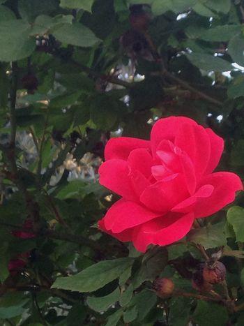 """""""C'è la regina che, le vuole rosse è ver. Se lo saprà a tutti e tre la testa taglierà."""" Flower Nature Petal Leaf Red Day Home Roses Green Dayoutwithfriends Monte Monteorfano"""