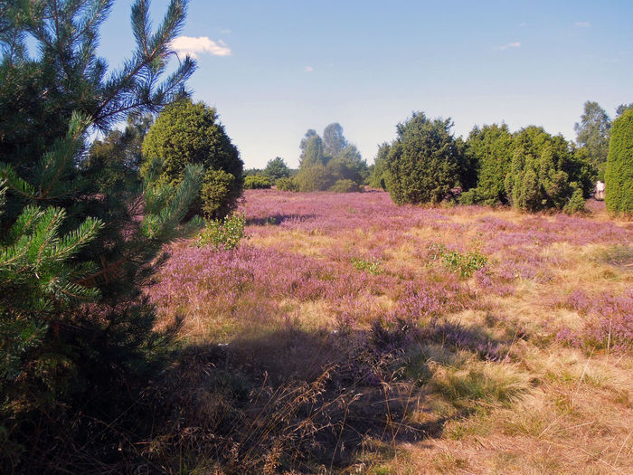 Blooming Heather Heidelandschaft Lüneburger Heide Path Tranquility Beauty In Nature Blooming Flora Growth Heather Heatherland Landscape Moorland Nature Outdoors Pathway Pink Color Plant Purple Sky The Way Forward Tree