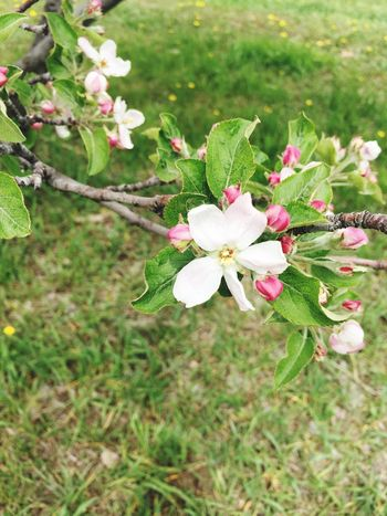 Apple Blossom May Flowers