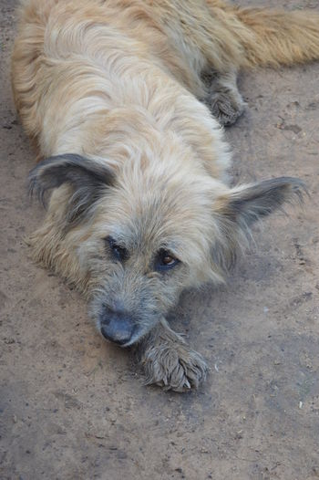 Mud dog One Animal Dog Canine Domestic Domestic Animals Mammal Pets Vertebrate Portrait High Angle View No People Hair Animal Hair Relaxation Day Lying Down