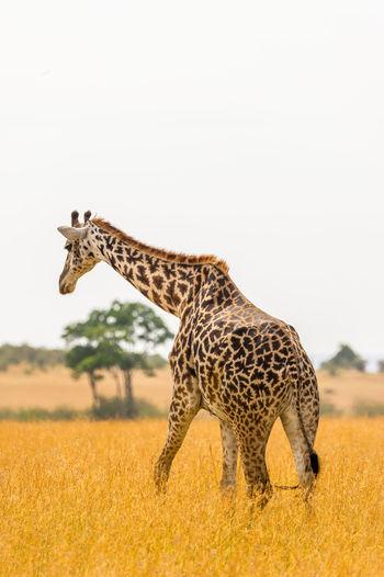 Giraffe On Field Against Clear Sky