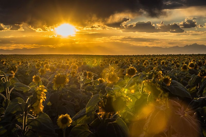Sunflower field at sunset Sky Sunset Beauty In Nature Cloud - Sky Sunlight Environment Landscape Tranquil Scene Agriculture Lens Flare Outdoors Field Yellow Nature Tranquility Scenics - Nature Plant Sunflower Sunflowers Field Outdoor Photography Breathtaking Sunset Sunbeam Orange Color Sun Growth