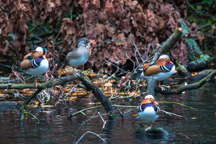 Mandarin Ducks On Driftwoods In Lake
