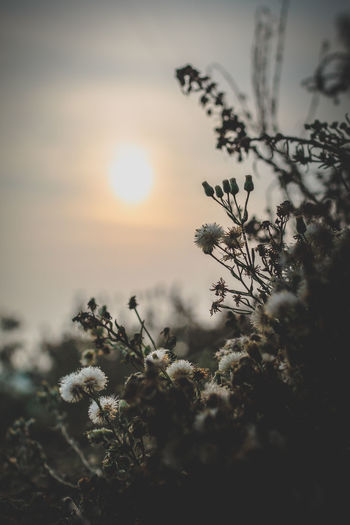 Beauty In Nature Branch Close-up Cold Temperature Day Flower Flower Head Fragility Freshness Growth Nature No People Outdoors Pinaceae Pine Tree Plant Sky Snow Sun Sunbeam Sunset Tree Wildflower Winter