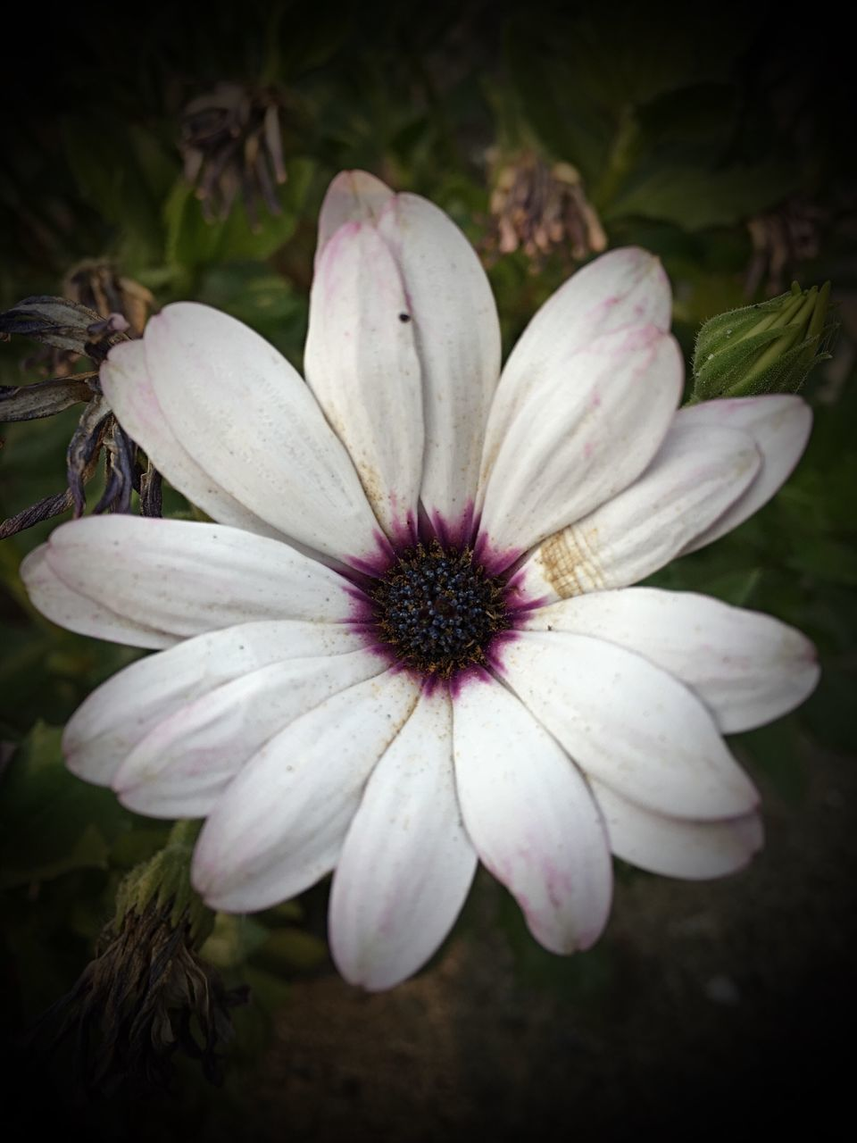 flower, petal, fragility, flower head, freshness, close-up, nature, plant, day, no people, growth, outdoors, beauty in nature, blooming