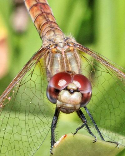 Insect Animal Themes Animals In The Wild Macro Focus On Foreground Animal Wildlife Close-up Outdoors Nature Scenics The Week Of Eyeem Nature Animal Portrait Animal Eye Living Organism Looking At Camera Libellula Libelle