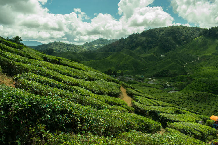 Cameron Highlands Agriculture Beauty In Nature Cloud - Sky Crop  Day Farm Field Freshness Green Color Growth Hill Landscape Nature No People Outdoors Plant Rural Scene Scenics Sky Tea Crop Tree