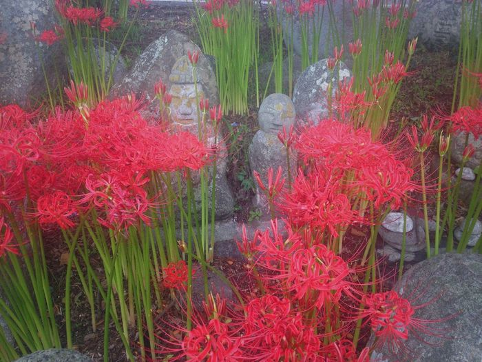 Suddenly, full bloom. With my favorite jizou's. Red Spider Lily Flowers of Autumn Japan Spider Lily