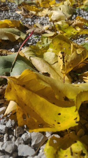 High angle view of yellow leaves on land