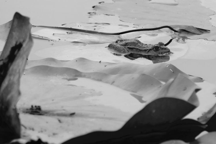 Black And White Frog Frog Frog On Leave Pelophylax