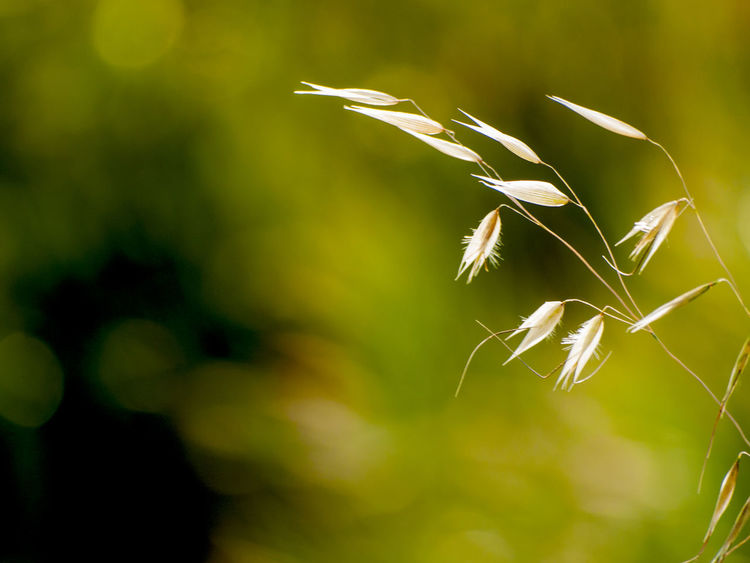 Abstract Avena Avena Fatua Background Backgrounds Beauty In Nature Cereal Plant Close-up Day Fragility Freshness Green Color Growth Minimalism Minimalist Nature No People Oats Oats Bars Outdoors Plant Spring Springtime