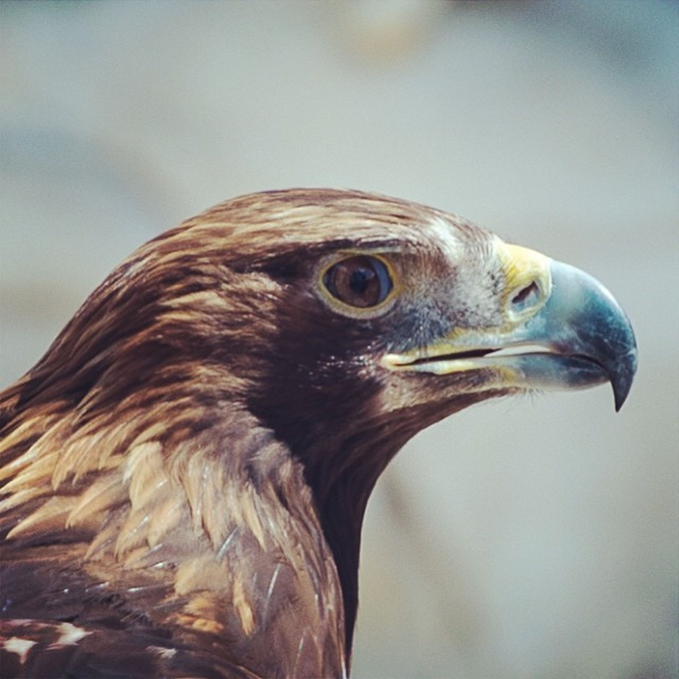 animal themes, one animal, bird, animals in the wild, wildlife, beak, close-up, focus on foreground, animal head, animal body part, bird of prey, nature, side view, animal eye, looking away, outdoors, day, no people, zoology, feather