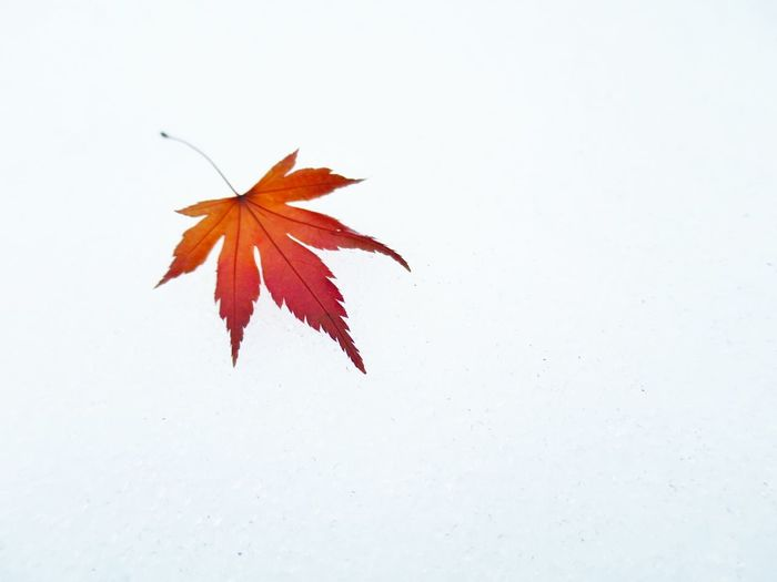 Fallen Leaves Maple Leaf On The Snow Snow Day Nature From My Point Of View in Tokyo,Japan