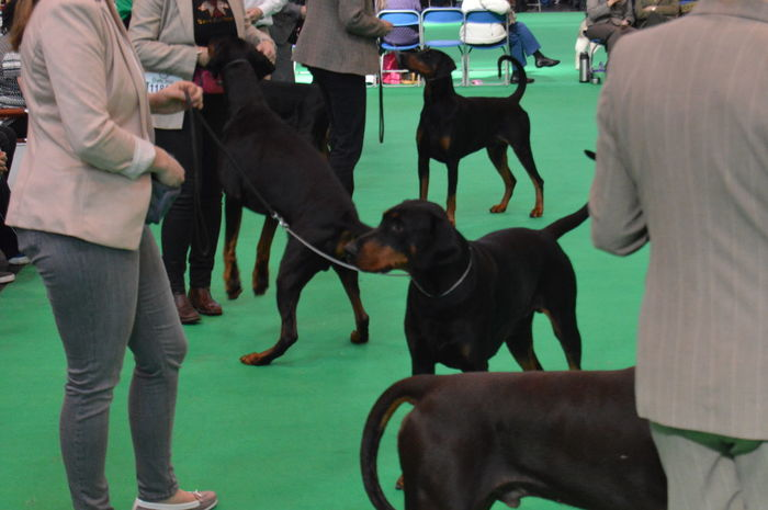 No Filter, No Edit, Just Photography Dog Photography Dog Of The Day Dog Lover Its A Dogs Life Doberman  Dobe Crufts  DogShow Show Dogs In The Ring Show Off