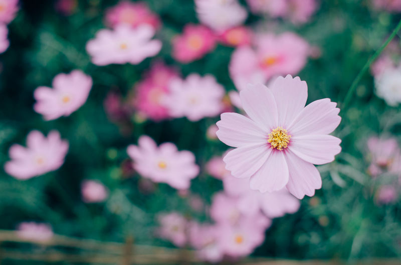 Flower Freshness Selective Focus Cosmos Flower Pink Color Pink Plant Growth Refreshment Relaxing Blurred Background Bokehlicious Springtime Spring Filtered Image