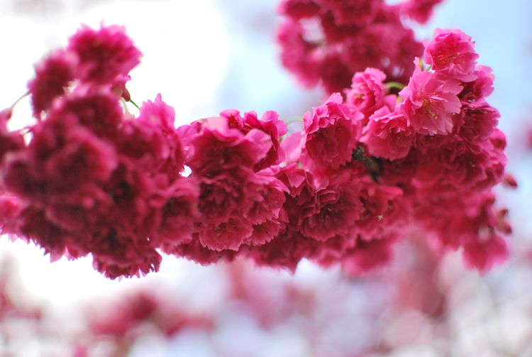 Beauty In Nature Blossom Bunch Of Flowers Cherry Blossom Cherry Tree Close-up Day Flower Flower Head Flowering Plant Fragility Freshness Growth Inflorescence Lilac Nature No People Outdoors Petal Pink Color Plant Selective Focus Spring Springtime Vulnerability
