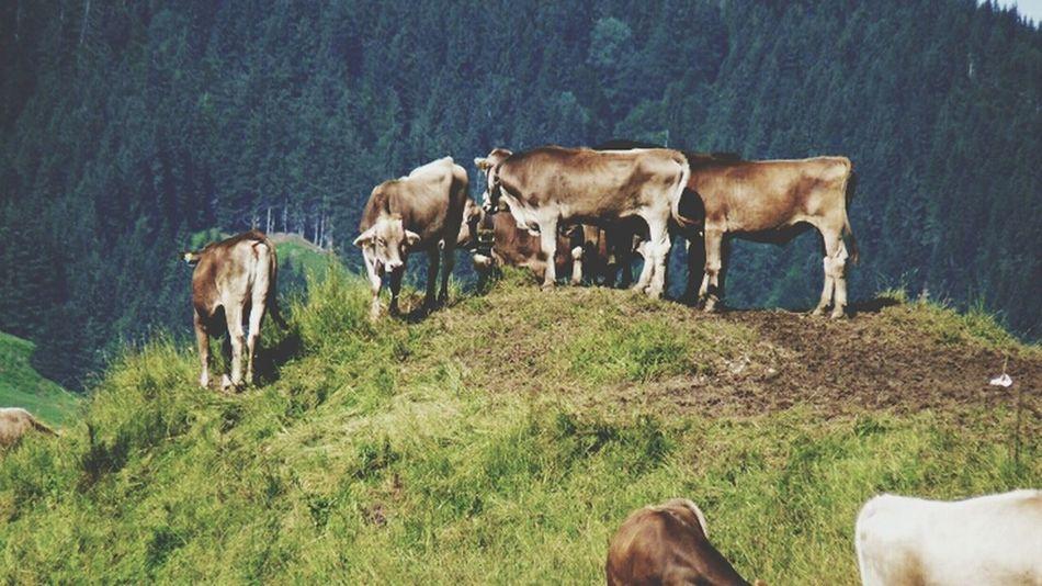 Nature Cows Green Oberstaufen