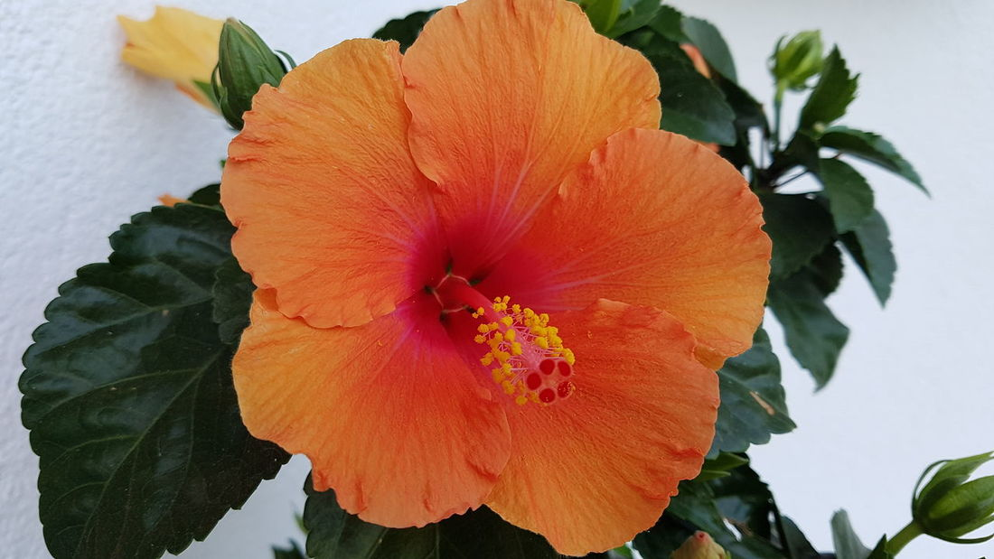 Flower Petal Nature Flower Head Beauty In Nature Plant Close-up Leaf Fragility No People Day Growth Outdoors Freshness Hibiscus
