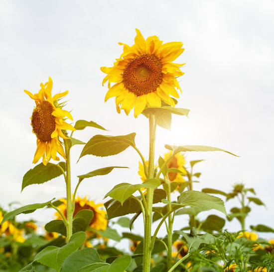 Sunflower Sunflowers Summer Agriculture Agricultural Field Harvest Rural Scene Nature Sun Yellow Flowering Plant Flower Plant Fragility Growth Vulnerability  Beauty In Nature Freshness Petal Flower Head Inflorescence Close-up Sky Plant Part Pollen Field Focus On Foreground No People Outdoors
