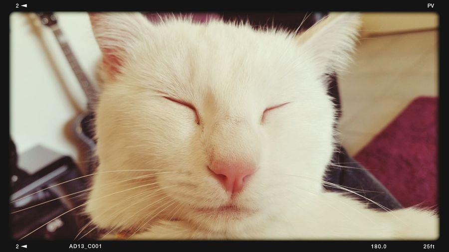 White Cat Happy