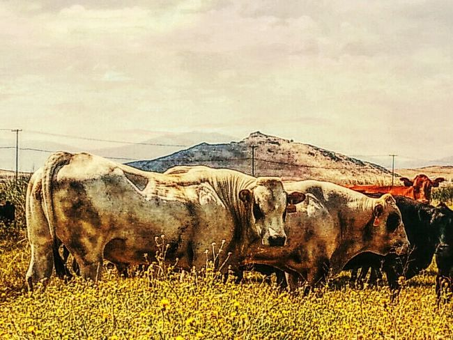 Summer Bulls Wondering within this herd of beef cattle are these to ibcredible bulls. ranching, beef, cattle, summer, breeding