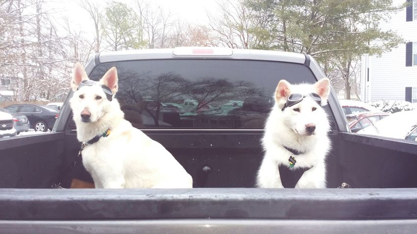 The kids all ready to run! Shepherds And Huskies Dogs In The Snow Dogs On An Adventure White Husky White German Shepherd