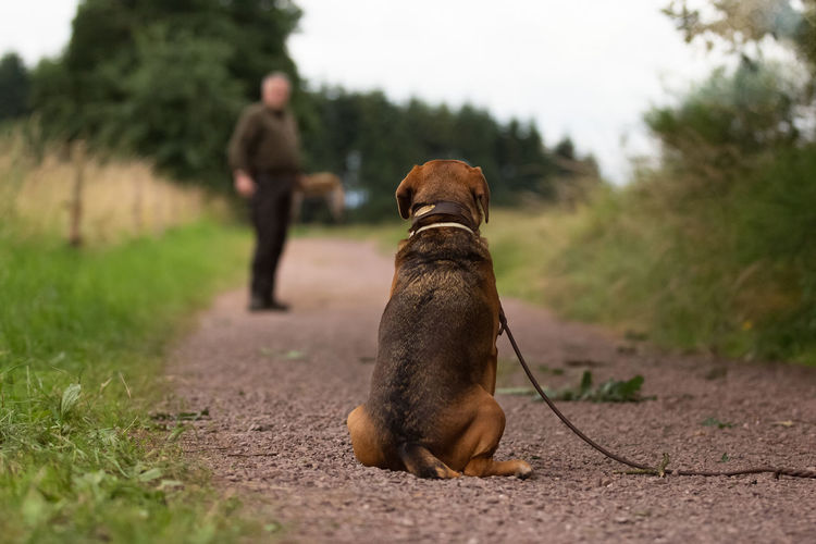 Brody Animal Themes Backside Portrait Day Dog Domestic Animals Focus On Foreground Hunting Meadow Nature Nature Nature_collection One Animal One Person Outdoors Pets Training Waiting Whole Body