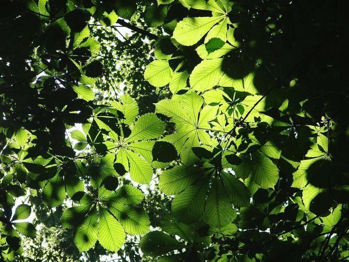 Full frame shot of horse chestnut leaves