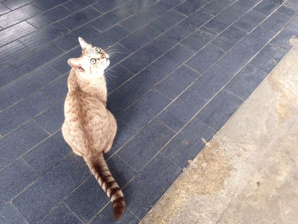 Ayutthaya cat Ayutthaya Thai Street Cat Look Up Top Shot Up Country Happy Cat Pattern Color Wait For Food