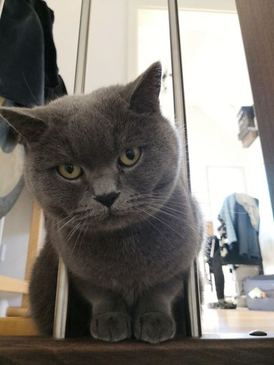 Sweet British shorthair cat sitting on stairs looking at camera British Shorthair Cat British Shorthair Pets Domestic Cat Portrait Home Interior Window Animal Themes Feline Whisker Cat Tabby Tabby Cat Animal Face At Home Yellow Eyes Kitten