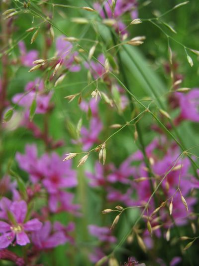Summer mood Nature Flower Plant Purple Pink Color Fragility Close-up Green Color Freshness Beauty In Nature Day Outdoors Growth No People Summer Russia Lythrum Salicaria