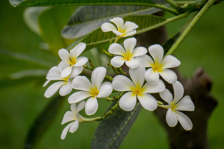 Close-up of frangipani plant