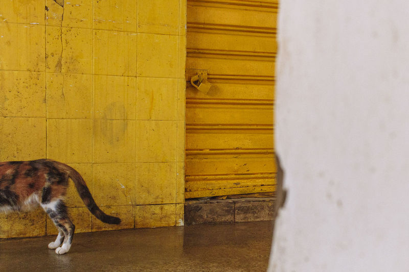 Paint The Town Yellow Street Market Animal Themes Cat Feira De São Joaquim Feline Mammal One Animal Stray Cat Stray Cat, Street Cat, Yellow Wall