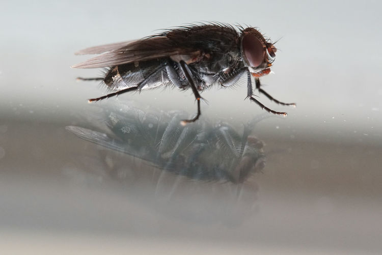 Close-Up Of Housefly On Glass Table