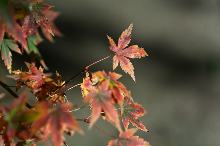 Acer Palmatum Red Leaves Acer Palmatum Autumn Beauty In Nature Branch Change Close-up Day Fragility Growth Leaf Maple Maple Leaf Maple Tree Nature No People Outdoors Tranquility Tree