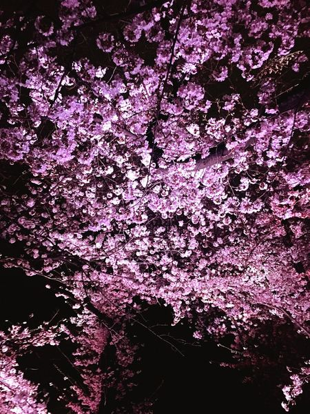 Blossom Tree Tokyo,Japan Japan Photography Japan Night Nightphotography Cherry Blossoms Hanami Yozakura
