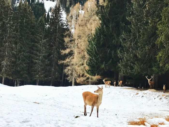 Raindeer Dolomites, Italy Fairytale  Cold Temperature Winter Nature Day Outdoors No People Animals In The Wild Landscape Mountain Dolomites Deer Symmetry