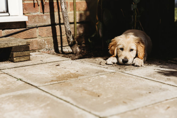 Portrait of dog relaxing on footpath