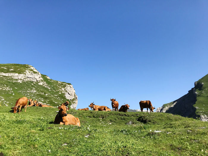 Cows grazing in field against clear blue sky