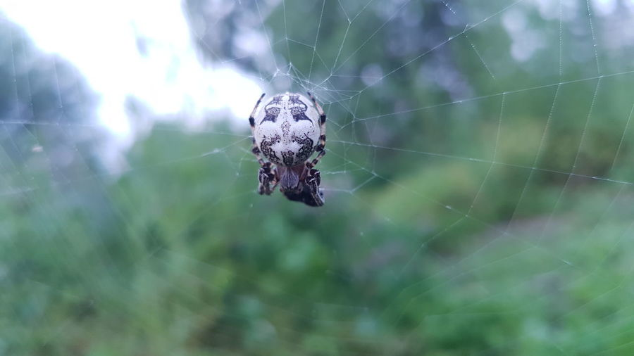 Spider Spider Web Web One Animal Nature Animal Themes Animals In The Wild Insect Animal Wildlife Day Close-up No People Outdoors Focus On Foreground Backgrounds Fragility Samsung Galaxy Summer