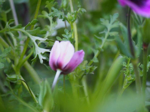 誰かを思うキミの背中を、今日も僕は見つめてる… Spring アネモネ My Point Of View EyeEm Nature Lover Beauty In Nature Flower Collection Green Nature Nature Eyemphotography EyeEm Gallery EyeEm Best Shots EyeEm Best Shots - Nature Springtime